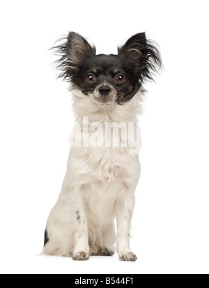 long haired chihuahua 9 months in front of a white background - Stock Photo