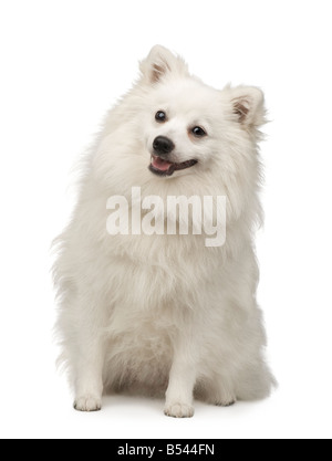 Keeshond 10 months in front of a white background - Stock Photo