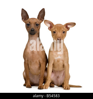 couple of miniature Pinscher in front of a white background - Stock Photo