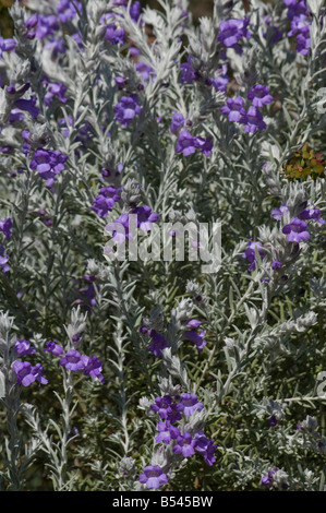 West Australian wildflower Silky Eremophila Eremophila Nivea - Stock Photo