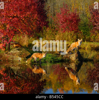 Red Foxes at waters edge staring out with firey red maple trees and reflections in water in Autumn - Stock Photo