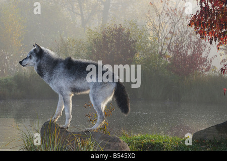 Backlit Gray Wolf standing on rock over water in the mist of early morning with Fall colors - Stock Photo