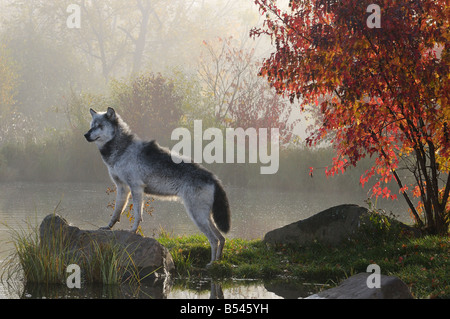 Backlit alpha Timber Wolf standing on rock over water in the mist of early morning with red maple tree - Stock Photo