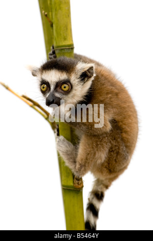 Ring tailed Lemur 6 weeks Lemur catta in front of a white background - Stock Photo