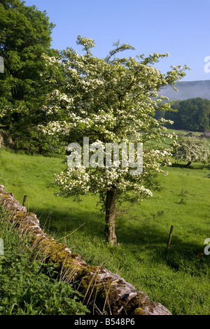 tree with summer blossom in the castleton valley in the english peak district national park with traditional stone - Stock Photo