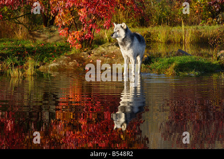 Gray Timber Wolf standing in water at river edge surrounded by Fall colors Canis Lupus Minnesota USA - Stock Photo