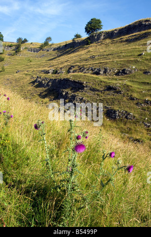 cressbrook dale derbyshire sssi landscape with fields and thistles summer blue sky - Stock Photo