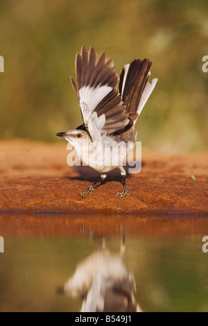 Northern Mockingbird Mimus polyglottos Rio Grande Valley Texas USA - Stock Photo