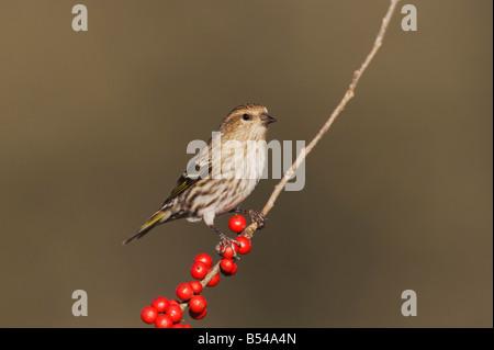 Pine Siskin Carduelis pinus adult perched on Possum Haw Holly Ilex decidua berries Bandera Hill Country Texas USA - Stock Photo