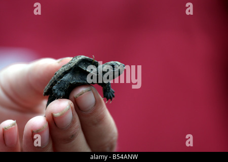 A little baby snapping turtle being held at the DeYoung Family Zoo Michigan - Stock Photo
