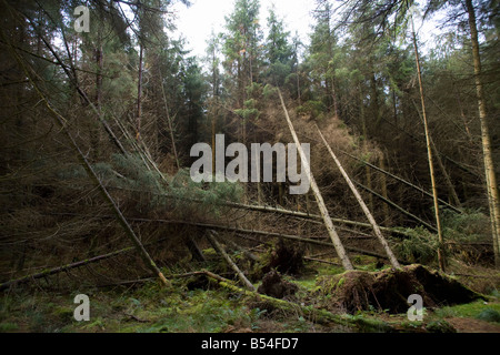 Fallen trees after high winds hit the Whinlatter Forest in West Cumbria England UK - Stock Photo