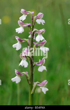 Green Winged Orchid Orchis morio flower spike with white spurs - Stock Photo