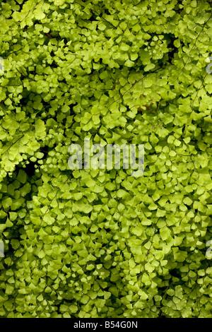 Maidenhair Fern (Adiantum capillus-veneris) growing by a spring, full frame, Andalucia, Spain - Stock Photo