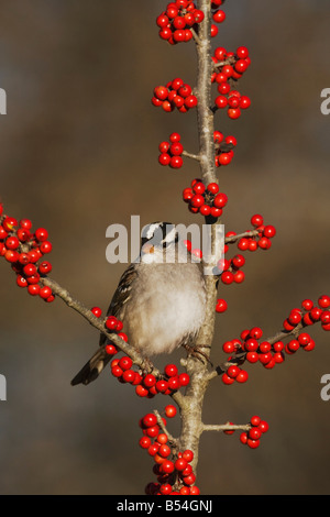 White-crowned Sparrow Zonotrichia leucophrys adult perched on Possum Haw Holly Ilex decidua berries Hill Country - Stock Photo