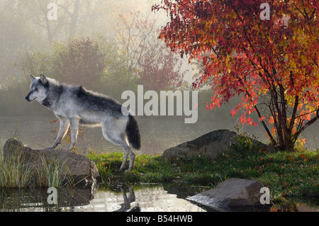 Backlit Gray Wolf standing on rock over water in the mist of early morning with red maple tree - Stock Photo
