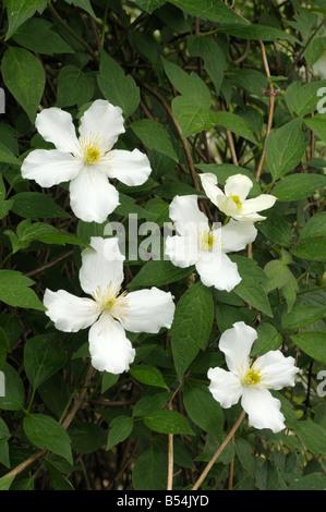 Anemone Clematis (Clematis montana), variety: Superba, flowering - Stock Photo