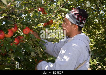Migrant Workers in Apple Orchard - Stock Photo