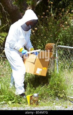 Beekeeper collecting a new colony of Honey Bees (Apis