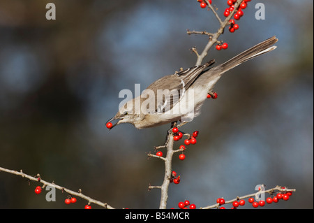 Northern Mockingbird Mimus polyglottos adult eating Possum Haw Holly Ilex decidua berries Bandera Hill Country Texas - Stock Photo