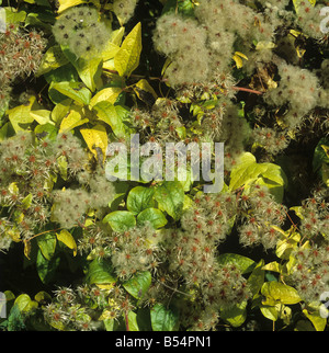 Travellers joy wild clematis old mans beard Clematis vitalba seeding climber - Stock Photo