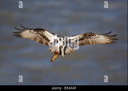 Osprey Pandion haliaetus adult in flight Yellowstone River Yellowstone National Park Wyoming USA - Stock Photo