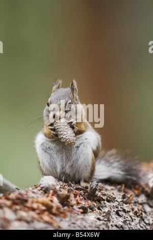 Pine Squirrel Tamiasciurus hudsonicus adult eating pine cone Rocky Mountain National Park Colorado USA - Stock Photo