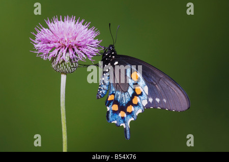 Pipevine Swallowtail Battus philenor adult feeding on texas thistle Sinton Corpus Christi Coastal Bend Texas USA - Stock Photo