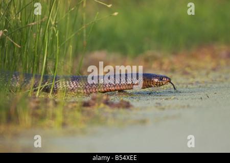 Texas Indigo Snake Drymarchon corais erebennus adult at pond Sinton Corpus Christi Coastal Bend Texas USA - Stock Photo