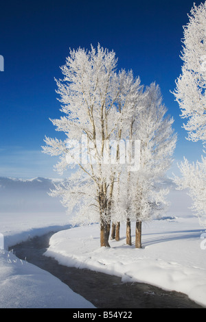Cottonwood tree Populus sp frost covered Lamar Valley Yellowstone National Park Wyoming USA - Stock Photo