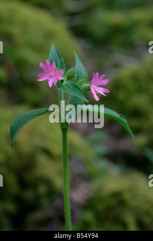 Red Campion Silene dioica in woodland - Stock Photo