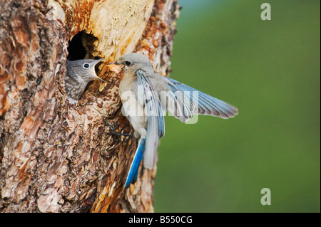 Mountain Bluebird Sialia currucoides male at nesting cavity Rocky Mountain National Park Colorado USA - Stock Photo