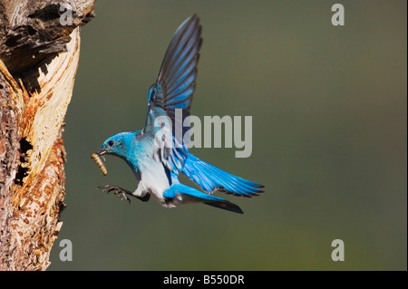 Mountain Bluebird Sialia currucoides male landing at nesting cavity Rocky Mountain National Park Colorado USA - Stock Photo