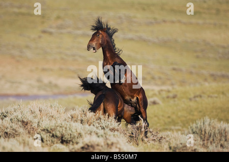 Mustang Horse Equus caballus stallions fighting Pryor Mountain Wild Horse Range Montana USA - Stock Photo