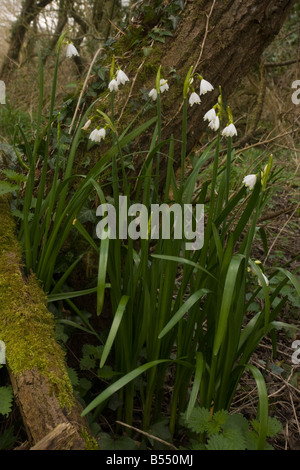 Summer Snow flake Leucojum aestivum native form in Piddle Valley Dorset - Stock Photo