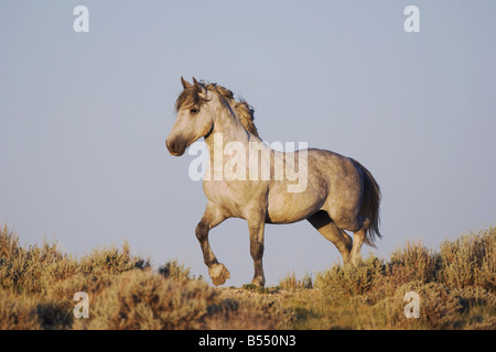 Mustang Horse Equus caballus adult Pryor Mountain Wild Horse Range Montana USA - Stock Photo