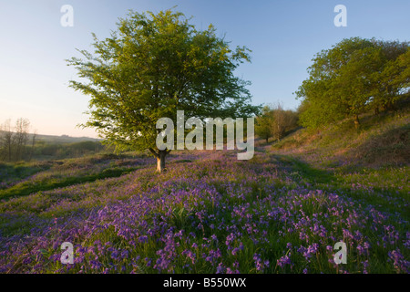 Bluebells in hilly grassland on Powerstock Common nature reserve West Dorset - Stock Photo
