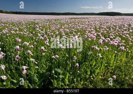 Field of Opium Poppies (Papaver somniferum) near Bere Regis, Dorset, England, UK - Stock Photo