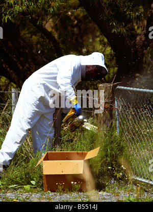Beekeeper removing honey bee swarm on fence post in the summer - Stock Photo