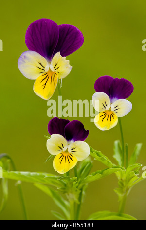 Wild Pansy or Heartsease (Viola tricolor), close-up - Stock Photo