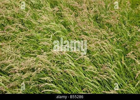 Sward of Yorkshire Fog grass (Holcus lanatus), full frame - Stock Photo