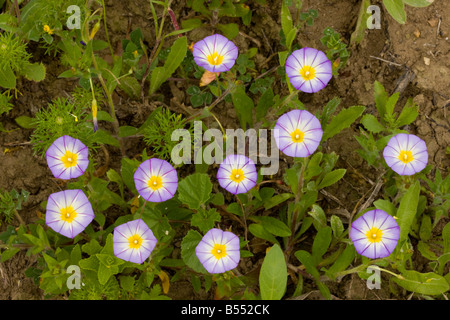 Three coloured Bindweed Convolvulus tricolor in flower Andalucia South west Spain - Stock Photo
