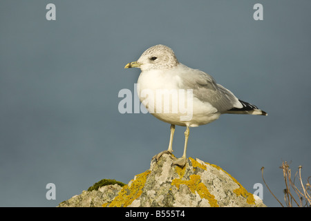 Adult Common Gull (Larus canus) in winter plumage perched on rock, Mainland Shetland, Scotland - Stock Photo