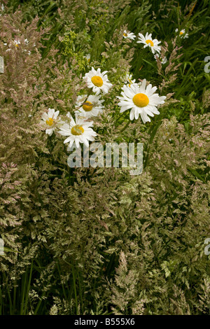 Ox eye Daisies Leucanthemum vulgare among Yorkshire Fog grass Holcus lanatus in old orchard Gloucs - Stock Photo