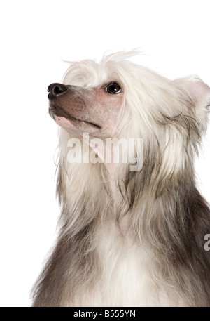 chinese crested dog in front of a white background - Stock Photo