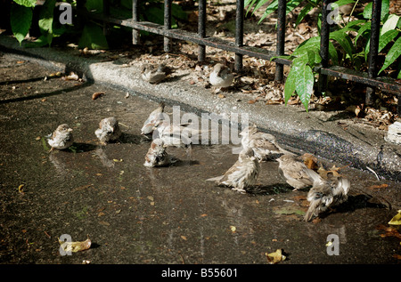 Many Birds Bathing in a Puddle in a Hot Summer Day in Brooklyn New York - Stock Photo