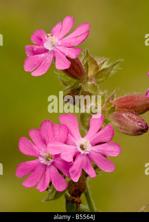 Red Campion (Silene dioica) in flower, springtime, close up - Stock Photo