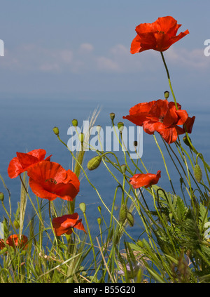 Wild poppies (Papaver rhoeas) in field, against sea and sky, Mani Peninsula, Peloponnese, South Greece, Europe - Stock Photo