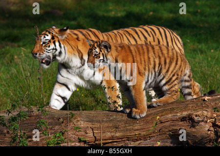 Siberian tiger with cub walking beside each other - Stock Photo