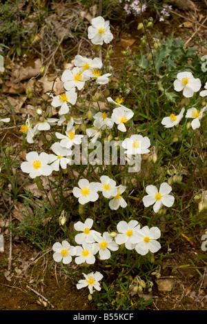 White Rock rose Helianthemum apenninum very rare on limestone in UK