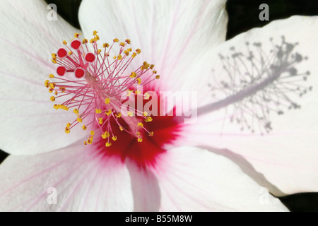 USA. Hibiscus, or rosemallow, is a large genus of about 200–220 species of flowering plants in the family Malvaceae. - Stock Photo